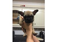 3 French bulldog puppies fawn and a brindle 10 weeks old