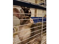 Male and Female rabbits for sale 1 year old.