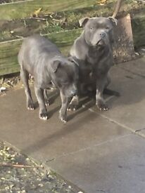 Blue Staffordshire bull terrier kc