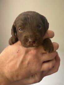 Bedlington puppies