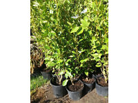 Griselinia hedge plants approx 100cm