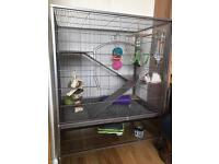 2 friendly male rats with cage