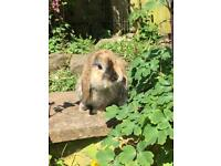 Gorgeous mini lops