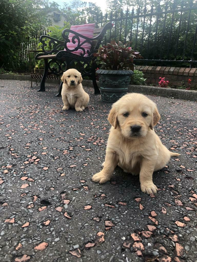Irish Red setter/Golden Retriever puppies for sale | in Keady, County  Armagh | Gumtree