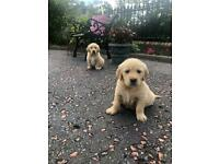 Golden retriever | Dogs & Puppies for Sale - Gumtree