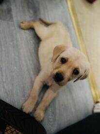 1 beautiful labrador retriever boy