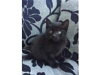 Final 2 Adorable Female All Black Kittens Remaining (£80 per kitten) - Seeking Forever Homes