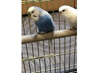 Cage & Budgies