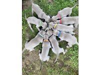 Male Weimaraner puppies for sale