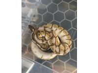 Cb17 Lesserbee Royal Python