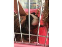 3 female guinea pigs need new home
