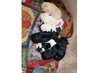 Maltese X Lhasa Apso beautiful puppies for sale.