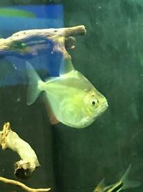 2 silver dollar fish