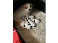 Pure Bred Chihuahua Puppy's For Sale