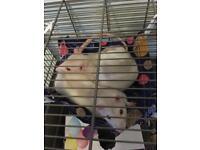 2 friendly male Rats