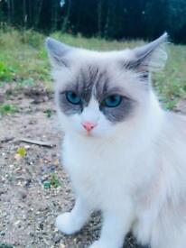 Stunning 5 year old Ragdoll cat