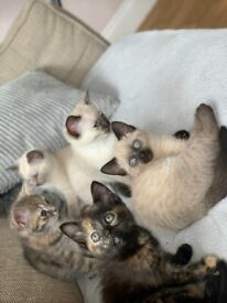 Five Adorable kittens, 3 Ragdoll , 1 Silver tabby 1 Tortoiseshell ready now