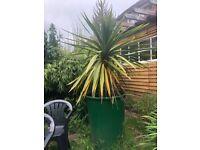 5 foot Yakka plant in pot