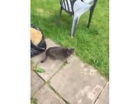 Grey/blue cat