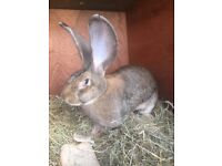 German rabbits for sale
