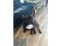 French bull dog mi