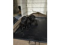 Full Pedigree Beautiful Labrador Puppies