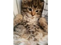 The cuttest Teddy bear Mixed Bengal and Ragdoll kittens u will ever see