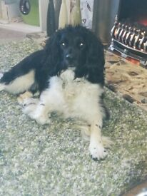Two year old spayed springer spaniel girl