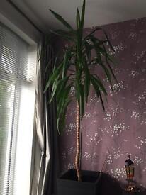 8' Yucca Plant