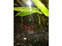 TROPICAL RED CHERRY SHRIMPS