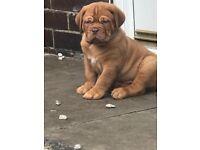Excellent quality dogue de Bordeaux pup, ideal for showing