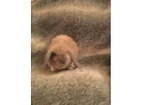 Mini Lop Rabbits Available