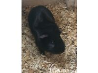 Two Sweet Boy Guinea Pigs for Sale