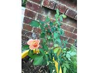 Rose plant in pot