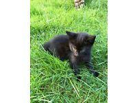 Gorgeous Black/ tabby kitten for sale 9 weeks boy £27