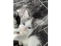Adorable Grey/White Male Kitten