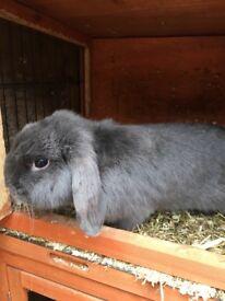 Amazing blue boy rabbit