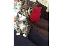 Tabby kitten for sale £35 ono
