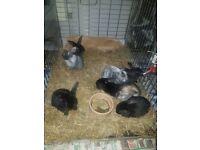 Miniature Lop Eared Rabbits