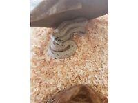 Female king snake for sale