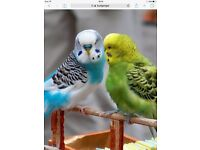 Budgies and cages job lot bargain