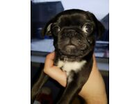 Pug Puppies - KC Registered