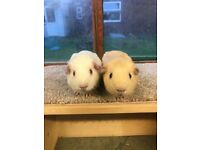 Two gorgeous baby girl guiena pigs for sale