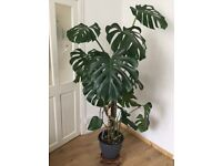 Large Swiss Cheese Plant, Monstera Deliciosa.