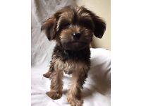 YorkiePoo Puppies Ready Now