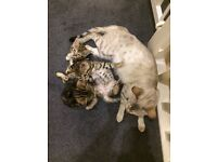 Beautiful Bengal kittens litter trained used to young children fun & loving 2 boys & 2 girls