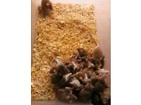 African soft furred rats