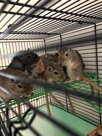 **GERBILS FOR SALE** 2 for £12 more pricing on listing