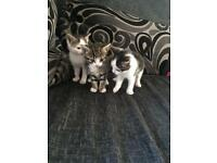 Kittens for sale £60