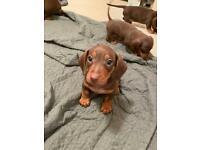 Stunning chocolate and tan miniature dachshunds 🐶